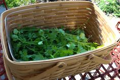 How to save cilantro before it goes to seed.