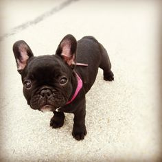 lilou. the cutest little french bulldog there is.