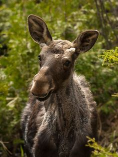 Young Moose in Spring Shed by Chris Miller