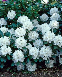 White Azalea, Rooftop Garden, Outdoor Gardens, Outdoor Living, Spring, Summer, Garden Ideas, Cottage, Gardening