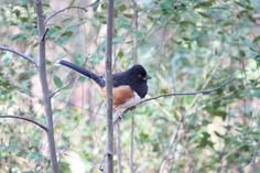 Eastern Towhee   Photographed at Weymouth Woods Sandhills Nature Preserve.