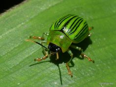 Leaf Beetle, Cool Insects, Ladybugs, Ecuador, Draw, Animales, Ladybug, To Draw, Sketches