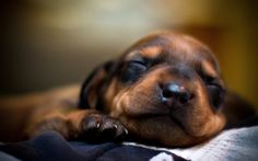 Dachshund Puppies X Animal Wallpaper