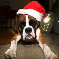 Image result for christmas boxer dog pictures