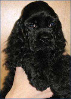 I want a beautiful black cocker spaniel when were older. I want a male and name him Rocky