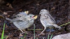 https://flic.kr/p/eT4yvK | Baby Song Sparrow Begging to be Fed_DSC8592 | I have been having a great time watching the local Song Sparrows feed their two fledglings. Busy, busy, busy!
