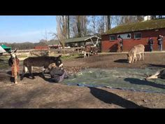 """Donkeys Gather To Say Goodbye To A Friend Who Died ; """"Bram lived with us for one and a half year and we nursed him. We gave him all the medication he needed and a lot of love,"""" sanctuary founder Jacqueline van den Berg told The Dodo. """"But there came the day that he could not lay down anymore because of his lungs.""""  That was the day he passed away.  Afterward, a touching scene unfolded as Bram's friends gathered around to bid him one last farewell."""