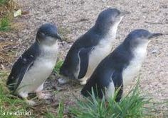 Little Blue Penguin. got to see one up close at the Antarctic Center in New Zealand while on my People to People trip in 2008.