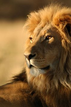 African lion- so beautiful...