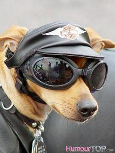 Photo drôle d'un petit chien biker avec une casquette de cuir Motor Harley Davidson Cycles, des lunettes de soleil et une veste en cuir