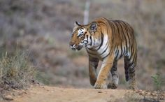 A 5-year-old Bengal tiger walked into Nandankanan Zoological Park in India on April 30, drawn perhaps by a female tiger therein. He remained for more than a month in the twelve-acre park, eating the food provided and without any inkling of leaving — and then he did just that, scaling an 18-foot iron wall that was built to regulations to prevent tiger escapes.  Read more: http://www.care2.com/causes/tiger-and-elephant-are-done-with-zoos-hit-the-open-road.html#ixzz2W1MqoPIS