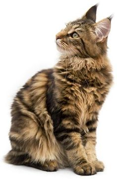 Maine Coon Cats Photo Gallery