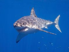 Learn the location of the best diving in South Africa. The Sardine Run, Chokka Squid Run, Sodwana Bay, diving with great white sharks - when and where to go. Hammerhead Shark, Humpback Whale, Orcas, Great White Shark Facts, Aquarium, Shark Pictures, Animal Pictures, Megalodon, The Great White