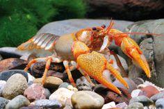 Awesome Crayfish!!!