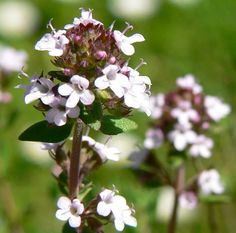 thyme flower - Google Search