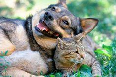 Nuestros amigos los gatos son ciertamente unos animales muy intrigantes. Es por todos conocido que en ocasiones pueden ser muy independientes, en otras muy cariñosos, a veces distantes y orgullosos, etc, características que no impiden que a muchos nos gusten, aunque a otros no tanto. Para todos, amantes o no de estos