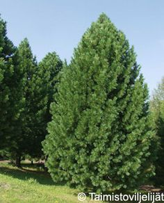 SEMBRAMÄNTY | Tahvoset Garden Inspiration, Plants, Shrubs, Trees And Shrubs, Conifers, Rhododendron, Growing, Tree, Garden