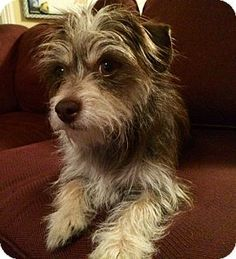 La Habra Heights, CA - Jack Russell Terrier/Yorkie, Yorkshire Terrier Mix. Meet Latte a Dog for Adoption.