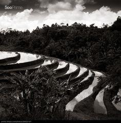 Terrace - Jatiluwih - Bali - stock photo