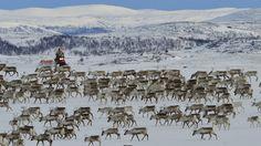 Vårens vakreste eventyr minutt for minutt Reindeer, Wildlife, The Unit, Teaching, Mountains, History, Nature, Travel, Outdoor