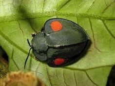 costarica beetle - Sök på Google