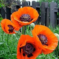 Oriental Poppy (Papaver Orientale Orange-scarlet) - Easy-to-grow from Oriental Poppy seeds, no border should be without an incredible display of these intensely colored blooms. Orange scarlet blooms w