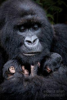 Mother and twin baby Mountain Gorillas. Volcanoes National Park, Rwanda.