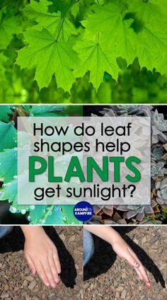 Easy plant science activity for kids to explore how the shape of a leaf helps a plant get sunlight. A hands-on, easy to do plant needs experiment for the classroom. Ideal for grade plant adaptations and plant life cycle lessons. Plant Experiments, Science Experiments For Preschoolers, Plant Science, Life Science Projects, Science Lessons, Ag Science, Science Ideas, Art Lessons, Teaching Plants