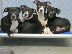 07/13/14 sl ~~Muffaletta & Jambalaya ~~ Pit Bull Terrier • Baby • Male • Large  Jefferson Parish Animal Shelter East Bank Jefferson, LA