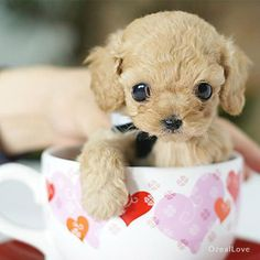 Tiny teacup poodle says hello to u.