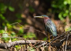 The Green Heron by Cari Enger on Capture Wisconsin // Feeding primarily on fish, the green heron is one of very few tool-using bird species and uses a variety of baits and lures, including insects, earthworms, twigs or feathers, to entice fish to where it can grab them. This versatile, intelligent predator has a rather large bill for its size and, as such, can feed on a variety of other large prey, including frogs, reptiles, small mammals and crustaceans. It feeds by day and night in shallow...