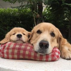These two who proved that goldens are adorable as babies AND as grown-ups. | The 31 Golden Retrievers Who Won 2015