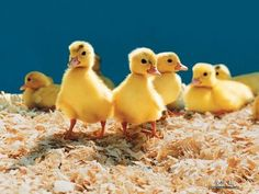 The Little Ducks!