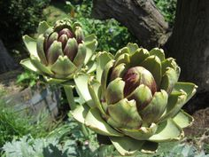 Artichokes in the rose garden at the Seattle Zoo.