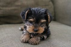 Yorkie--- one day I will own one!