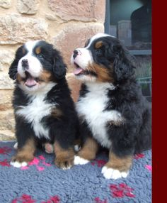 The Bernese Mountain Dog, a wonderful breed of dog loyal, affectionate, protective dogs.  ADORABLE! <3