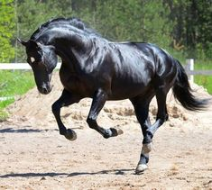 Russian Riding Horse stallion Gonets