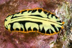 Pseudoceros dimidiatus flatworm - http://www.ryanphotographic.com