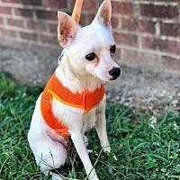 Raleigh North Carolina Chihuahua Meet Charlie A For Adoption