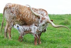 So getting some of these guys when I buy land Long Horn cow & calf