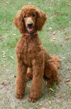 Red Standard Poodles  My dog's sire, my dog looks just like him.