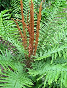 This highly decorative fern bears two types of fronds that rise above the leaves. The fertile fronds that contain the spores look like Cinnamon Sticks (hence the name Cinnamon Fern) while the sterile fronds which are not as decorative are yellowish. Part Shade Plants, Shade Garden Plants, Cottage Garden Plants, Big Leaf Plants, Fern Plant, Potted Plants, Cinnamon Fern, Cinnamon Sticks, Gardens