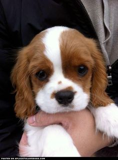 Cavalier King Charles puppy--such cute dogs. They're like cocker spaniels that never grow up. Puppies And Kitties, Cute Puppies, Cute Dogs, Doggies, Kittens, Puppies Tips, Baby Animals, Funny Animals, Cute Animals