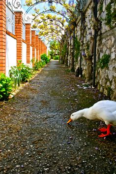 Duck crossing -in Capri, Amalfi Coast, Italy - API study abroad student Katie Forleo, via Flickr