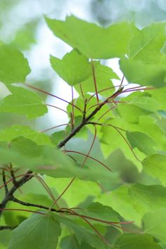 Rot-Ahorn • Acer rubrum • Scharlach-Ahorn • Sumpf-Ahorn • Pflanzen & Blumen • 99Roots.com
