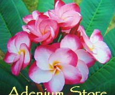 Plumeria Seeds 'Kasem Delight' (6 Seeds