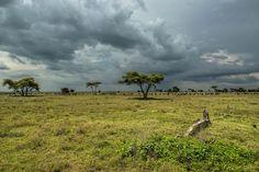 Wildebeest in the distance. Serengeti, Tanzania.