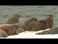 In the top 10 ugliest animals? No way! Beauty is in the eye of the beholder. What makes us joyful is beautiful. ▶ walrus dance - YouTube