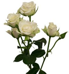 White Spray Roses