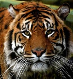 Tigers are beautiful animals